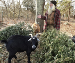 Pet Goats Love Eating Discarded Christmas Trees and Pipe Tobacco